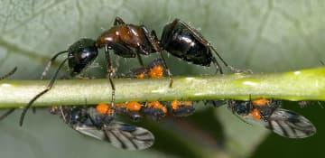 Carpenter Ant Exterminator Albany NY - Capital Pest Removal
