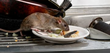 Commercial Mice And Rat Control - Capital Pest Removal Albany NY
