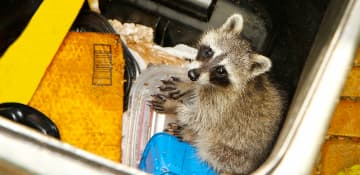 Commercial Racoon Removal - Capital Pest Removal Albany NY