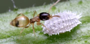 Ghost Ant Exterminator Albany NY - Capital Pest Removal