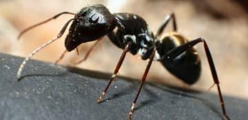 Little Black Ant Exterminator Albany NY - Capital Pest Removal