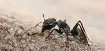 Pavement Ant Exterminator Albany NY - Capital Pest Removal