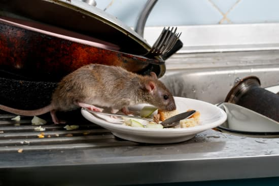 Rodent Control Albany NY - Capital Pest Removal